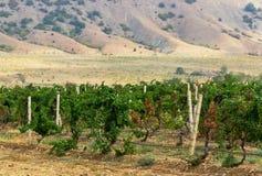 Groeiende druiven Stock Foto's