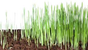 Groeiende groene de tijdtijdspanne van de grasinstallatie 4k stock video