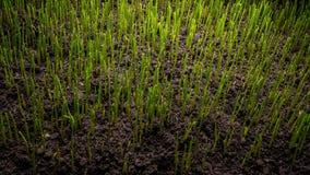 Groeiende groene grasinstallatie stock video