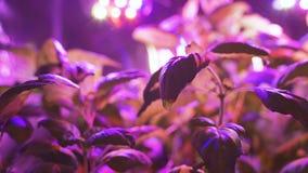 Groeiende installatiezaailingen en kunstmatige verlichting Lamp voor de installatiegroei zonder de zon De kleur is roze of purper stock videobeelden