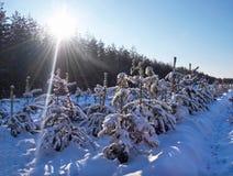 Groeiende Kerstmisbomen Stock Foto's