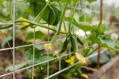 Groeiende komkommer stock afbeeldingen