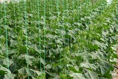 Groeiende Komkommers Stock Afbeelding