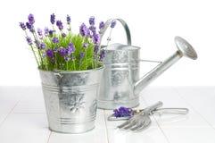 Groeiende Lavendel Royalty-vrije Stock Foto's
