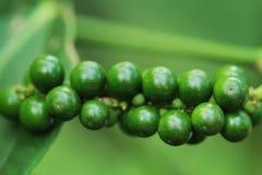 Groeiende nigrumpijper in Costa Rica Stock Afbeeldingen