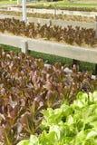 Groeiende Organische plantaardige landbouwbedrijven stock fotografie