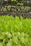 Groeiende Organische plantaardige landbouwbedrijven stock foto's