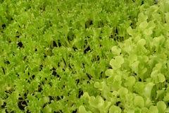 Groeiende Organische plantaardige landbouwbedrijven royalty-vrije stock foto
