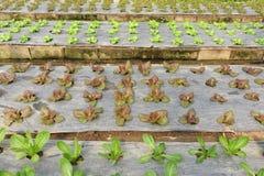 Groeiende Organische plantaardige landbouwbedrijven stock afbeeldingen