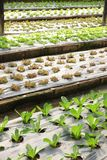 Groeiende Organische plantaardige landbouwbedrijven stock afbeelding