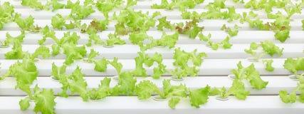 Groeiende Organische plantaardige landbouwbedrijven stock foto