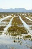 Groeiende padievelden in Spanje. De bezinning van het water Royalty-vrije Stock Fotografie