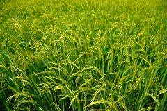 Groeiende rijst en groen grasgebied Stock Fotografie