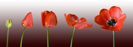 Groeiende rode tulp Stock Foto's