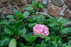 Groeiende roze hydrangea hortensiabloem Royalty-vrije Stock Afbeeldingen