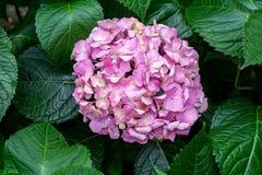 Groeiende roze hydrangea hortensiabloem Royalty-vrije Stock Fotografie