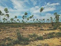 Groeiende rubberaanplantingen stock afbeelding