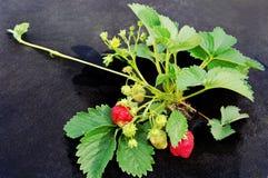 Groeiende strawbery. Stock Afbeeldingen