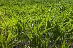 Groeiende suikermaïs stock afbeelding