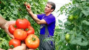 Groeiende tomaten Stock Fotografie