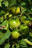 Groeiende tomaten Stock Afbeelding