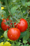 Groeiende tomaten Royalty-vrije Stock Afbeelding