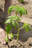Groeiende tomatenspruit, het planten Stock Foto's