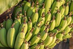 Groeiende Turkse bananen stock foto