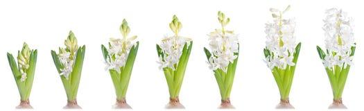 Groeiende witte parelhyacint, die op wit wordt geïsoleerd Stock Foto's