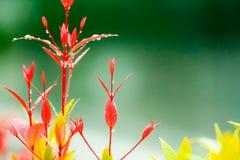 Groeit de rode bladeren van Christina na regendaling verscheidene dagen stock fotografie