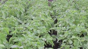 Groen aardappelgebied stock footage