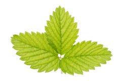 Groen aardbeiblad stock foto's
