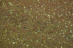 Groen algen en eendekroos in het water stock afbeelding
