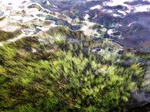 Groen aquatisch onkruid die in het Saco-meer groeien royalty-vrije stock afbeeldingen