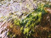 Groen aquatisch onkruid die in het Saco-meer groeien stock fotografie