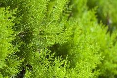 Groen arborvitaeclose-up Stock Afbeeldingen