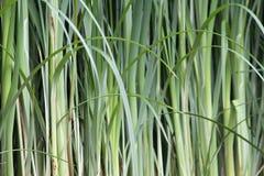 Groen Bamboe Stock Foto