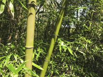 Groen bamboe in het bosje, Zuid-Korea stock afbeelding