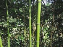 Groen bamboe in het bosje, Zuid-Korea royalty-vrije stock afbeeldingen