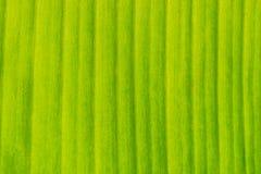 Groen banaanblad Royalty-vrije Stock Afbeeldingen