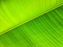 Groen banaanblad Stock Afbeelding