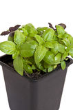 Groen basilicum Royalty-vrije Stock Fotografie