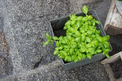 Groen basilicum in een pot Stock Foto