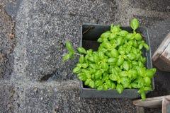 Groen basilicum in een pot Royalty-vrije Stock Foto's