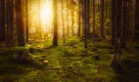 Groen bemost fairytalebos met mooi licht van de zon die tussen de bomen in de mist glanzen stock fotografie
