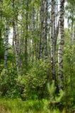 Groen berkbosje Stock Foto's