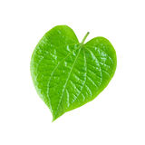 Groen Betel of Piper Betle-blad stock afbeelding