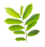 groen blad Royalty-vrije Stock Afbeeldingen