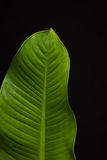 groen blad Royalty-vrije Stock Fotografie
