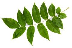 Groen blad dat op witte achtergrond wordt geïsoleerdg Stock Afbeelding
